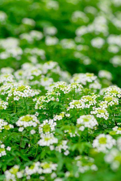 クレソンの花.jpg