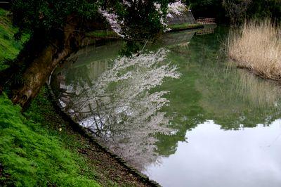 加賀の桜.jpg