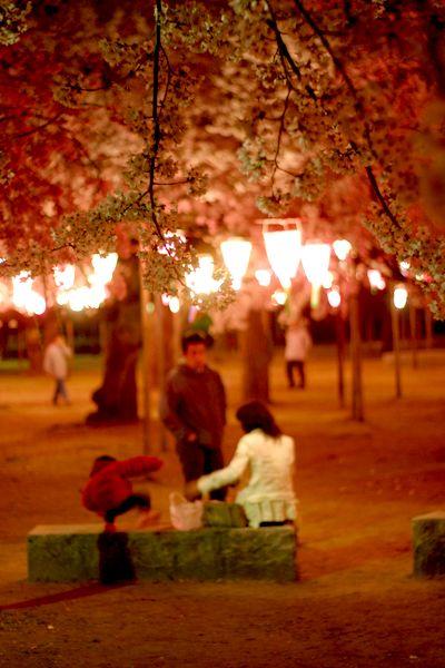 加賀の桜0.jpg