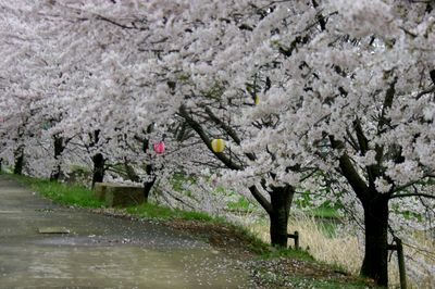 加賀の桜2.jpg