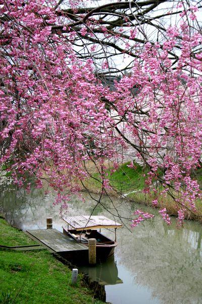 加賀の桜4.jpg