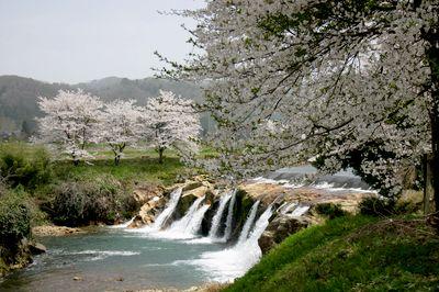 加賀の桜5.jpg