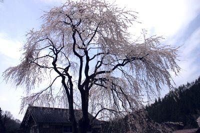 加賀の桜6.jpg