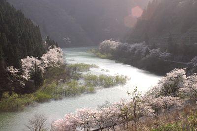 加賀の桜7.jpg