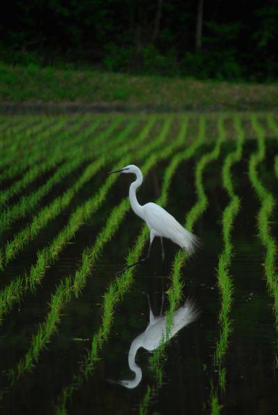 水田と白鷺.jpg