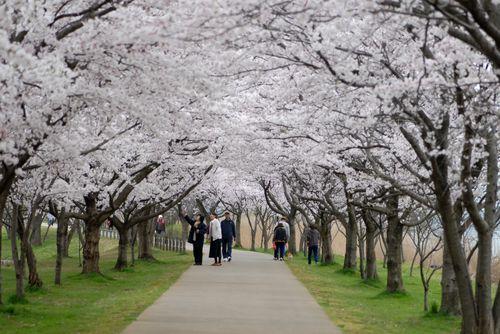 南加賀の桜10.jpg