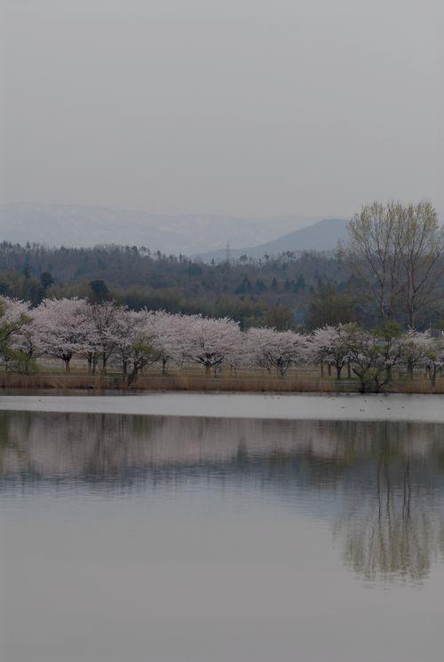 南加賀の桜124.jpg