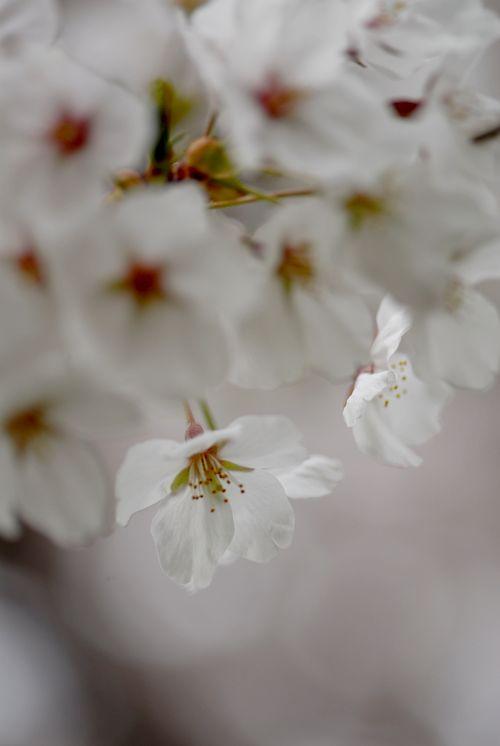 南加賀の桜14.jpg