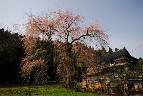 南加賀の桜2.jpg