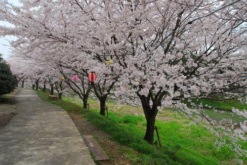 南加賀の桜4.jpg