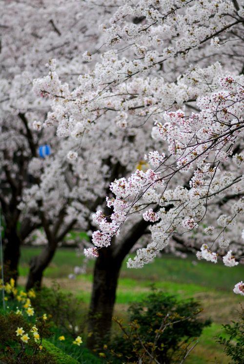 南加賀の桜5.jpg