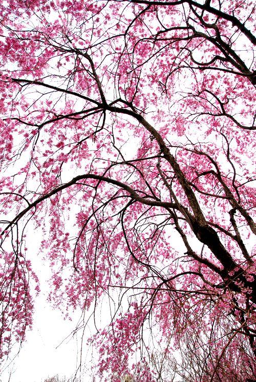 南加賀の桜6.jpg