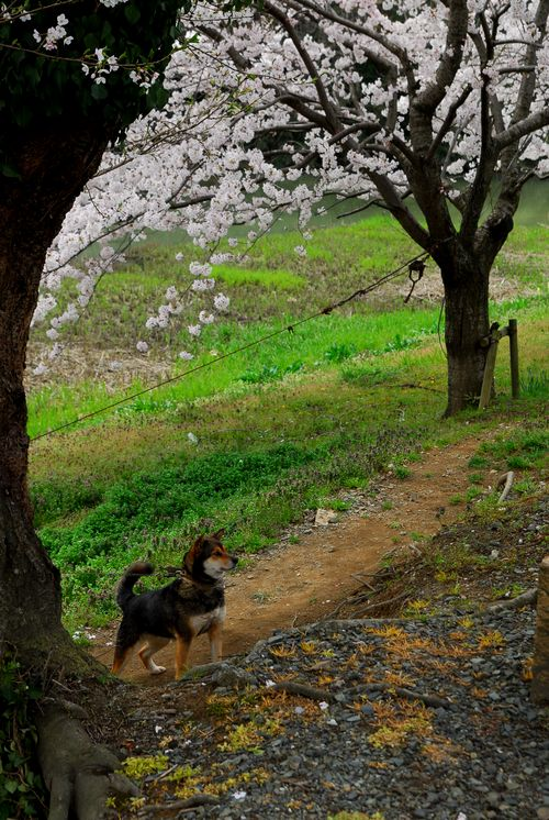 南加賀の桜7.jpg