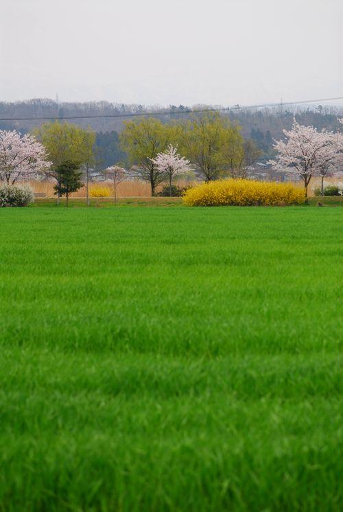 南加賀の桜9.jpg