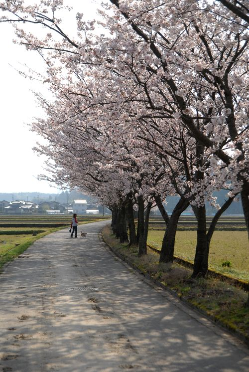 南加賀の桜1.jpg