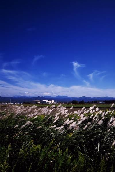 風に揺れるススキ.jpg