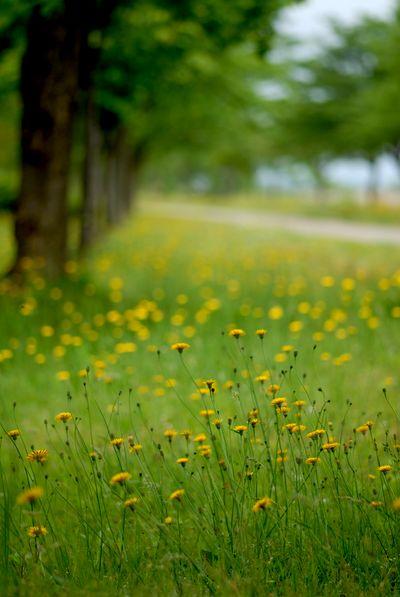 木場潟の黄色い花.jpg