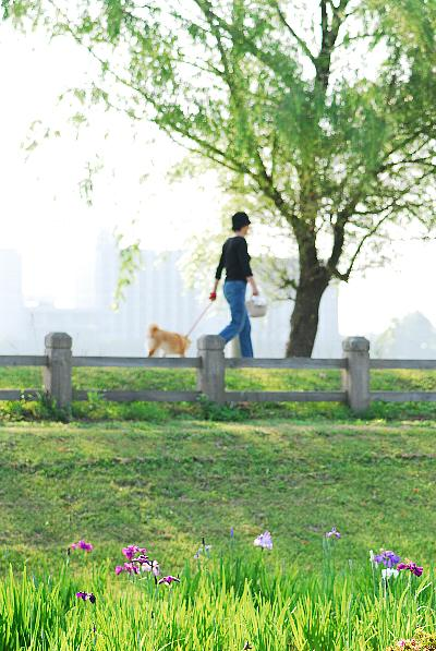 木場潟の菖蒲.jpg